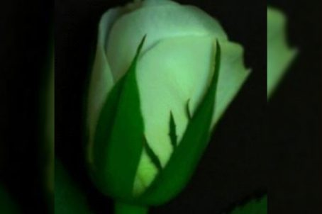 Fungi Detection On Roses